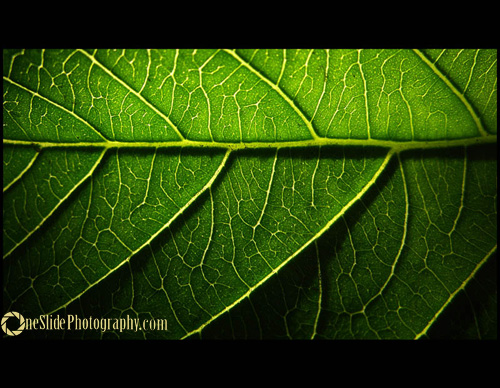 Tips for Photographing a Leaf - Use Backlight Lighting