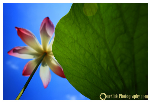 Tips for Photographing a Leaf - Combine with flower