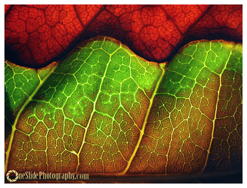 Tips for Photographing a Leaf - Dry Leaf