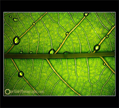 Tips for Photographing a Leaf - Sparkle with water