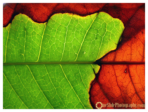 Tips for Photographing a Leaf