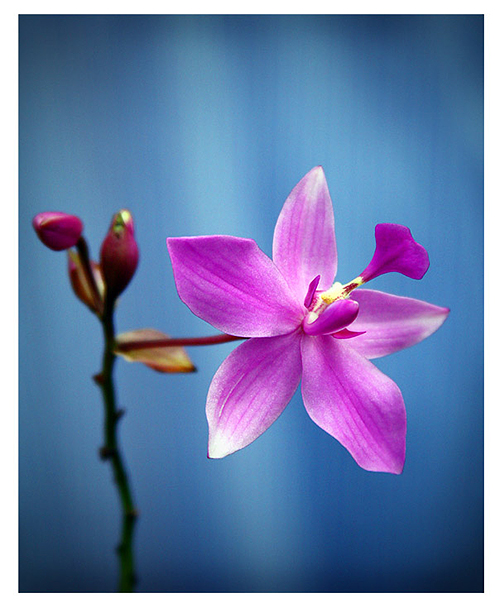 Orchid in macro photography